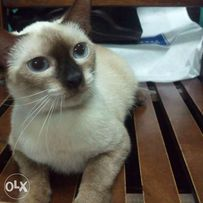 siamese view all ads available in the philippines olx ph