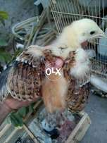 1.5 Months+ Age Aseel Chicks