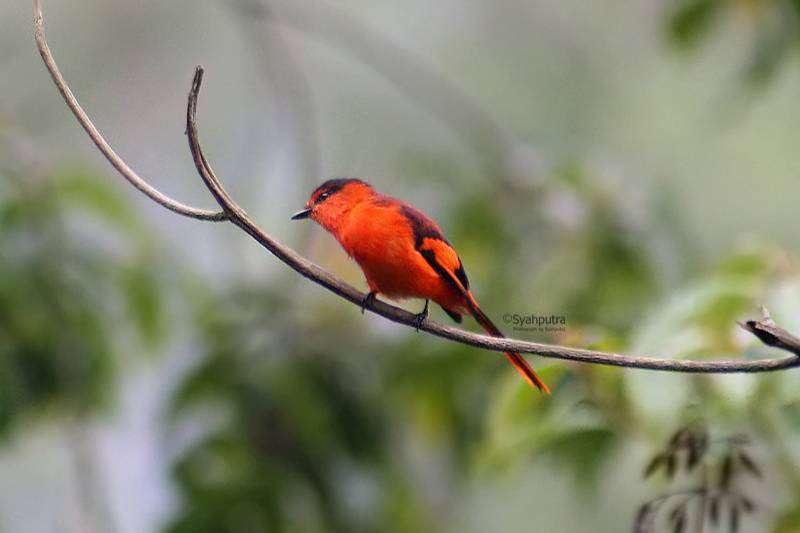 Burung Ngantenan