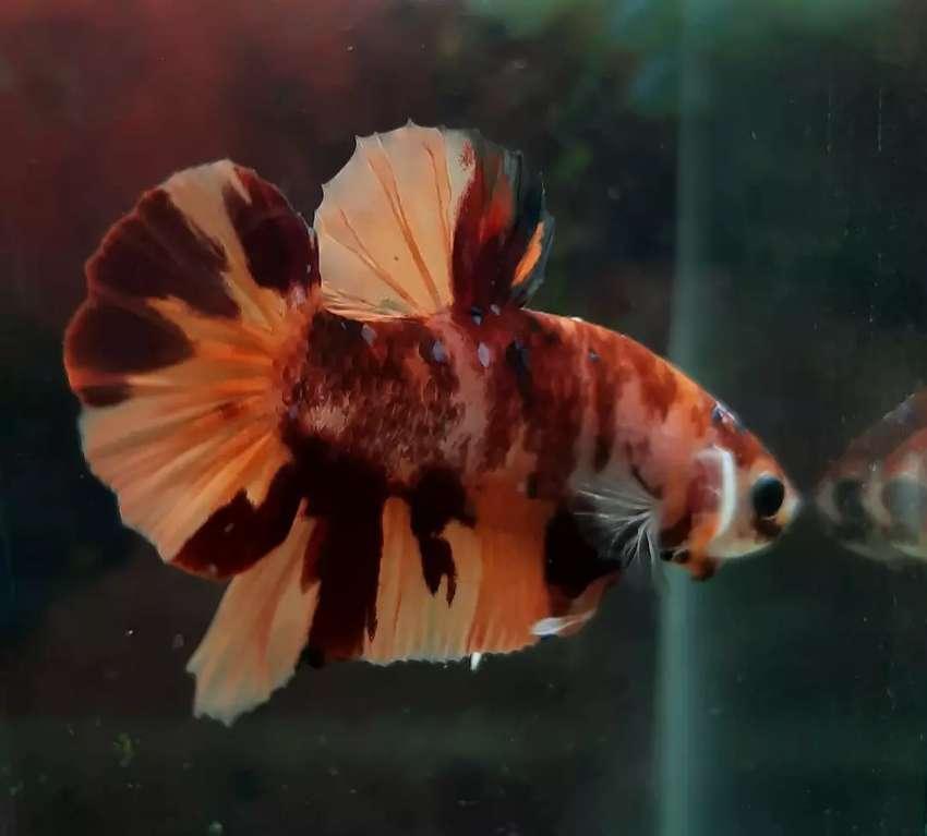 Jual Ikan Cupang Hias Dan Aquarium Besar Hewan Peliharaan 806412347