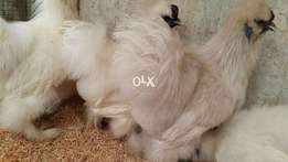 Top quality White silkie breeder males