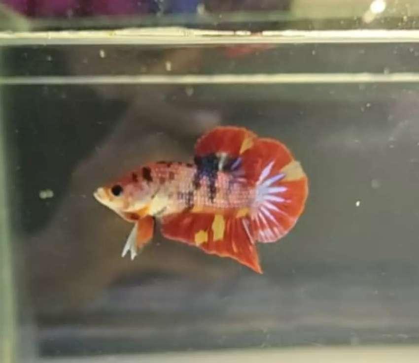 Ikan Cupang Nemo Cooper Fire Hewan Peliharaan 809457327