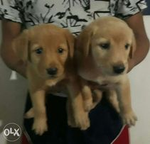 Golden Retriever For Sale View All Ads Available In The