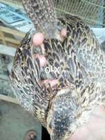 2.5 Months Breed Pheasants Green And Ringneck Surkhab