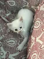 I want to sell my kitten female urgently