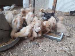 Golden Buff Heavy chiks pure breed