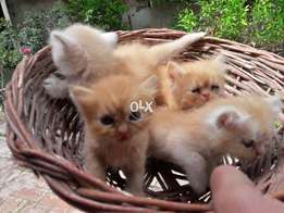 Pure persian kittens are ready to go new homes