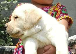 Padagred pups Labrador for sale