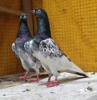 3 farozpure banky bredr pair for sale