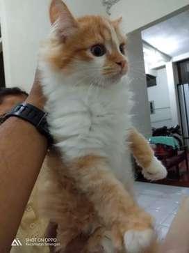 Unduh 98+  Gambar Kucing Persia Dan Anggora Lucu Imut Lucu