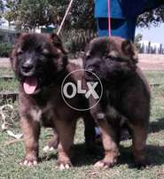 Pure Cocusian Shaferd 2 month pair For Sale