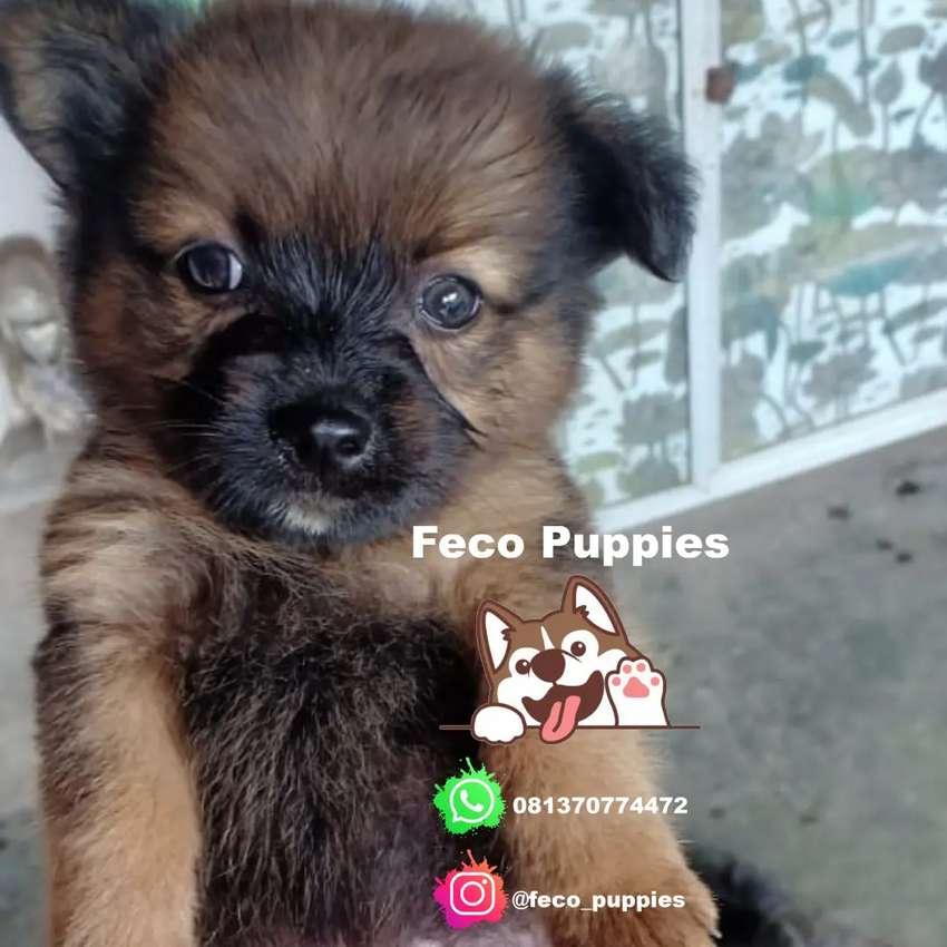 Shihtzu Mix Yapom Jual Anak Anjing Murah Hewan Peliharaan 809561114