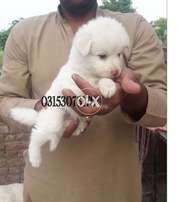 Orignal Russian Red nose Long hair healthy pups
