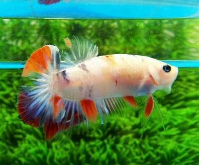 Ikan Cupang Nemo Galaxy Hewan Peliharaan 802964302