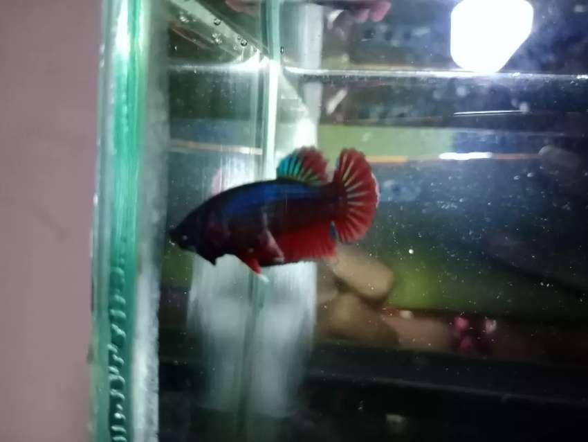 Ikan Cupang Hias Bahanan Avatar Vampir Hewan Peliharaan 808808815