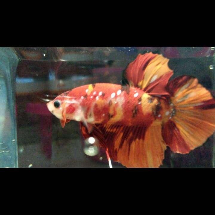 Ikan Cupang Nemo Leopard Size L Hewan Peliharaan 806269212