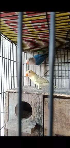 Mangsi Jual Hewan Peliharaan Burung Terlengkap Di Jawa Timur Olx Co Id