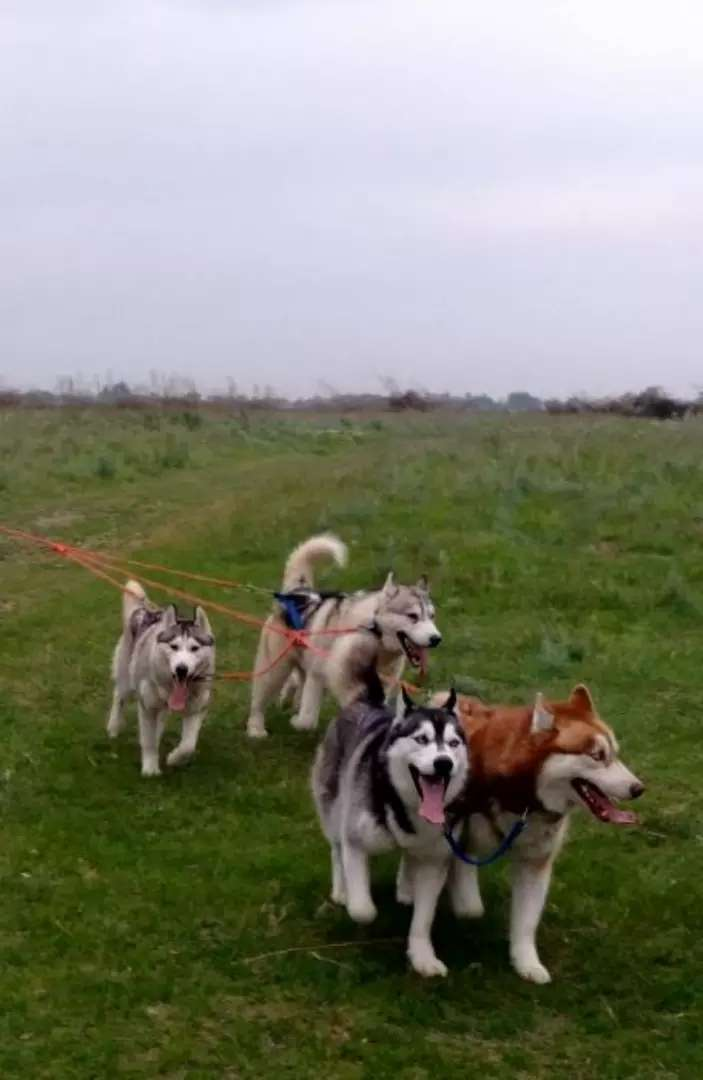 Huskies Available For Sell Dogs 1001244710 Olx