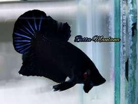 Download 990 Gambar Ikan Cupang Super Black Terpopuler