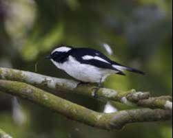 Burung Decu Kembang Hewan Peliharaan 806241334