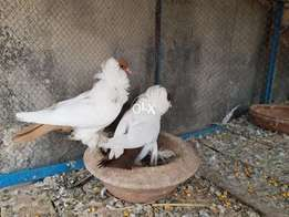 Morehead breeder pair avaliable