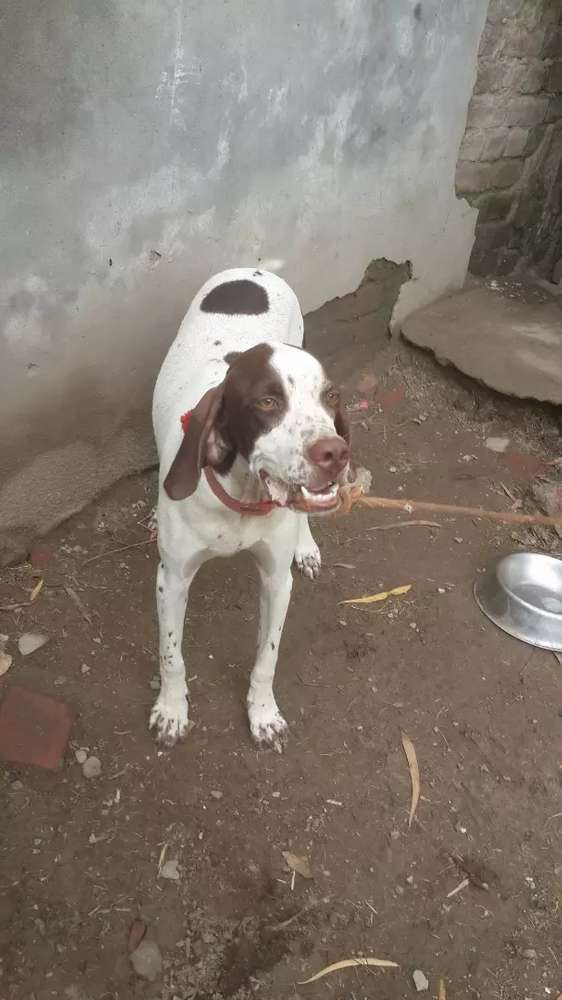 English Pointer Dogs For Sale In Pakistan Olx Com Pk