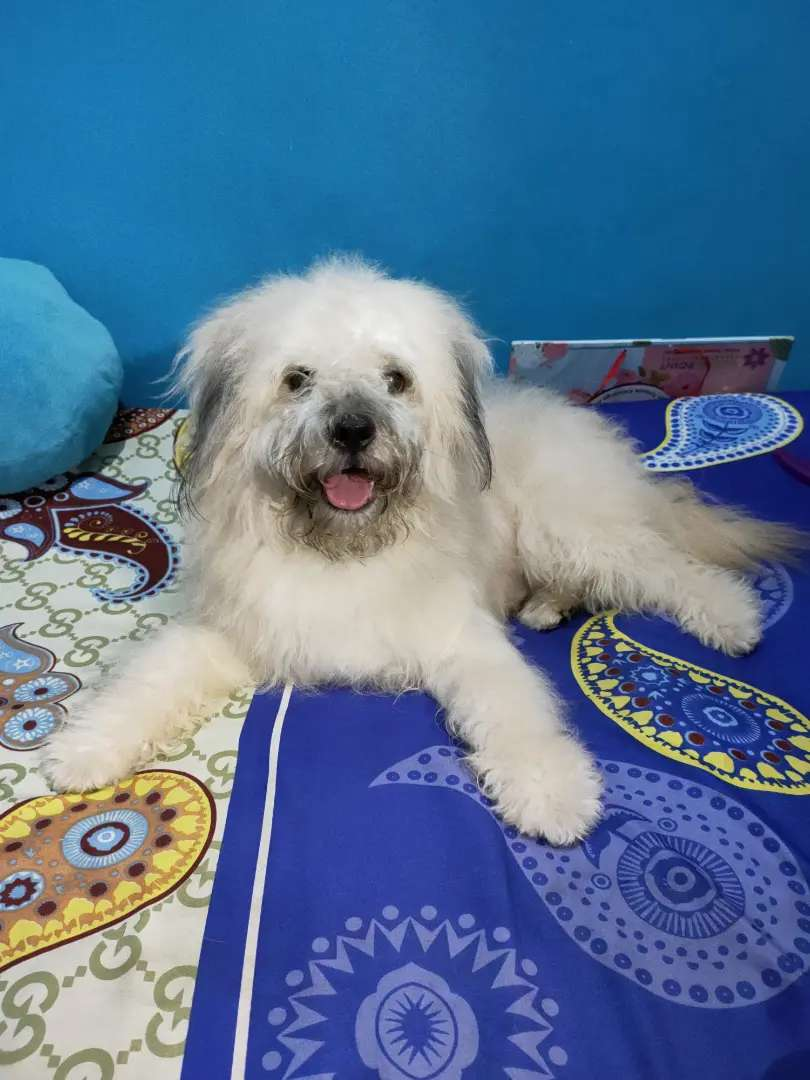 Anjing Maltese Jantan Hewan Peliharaan 810831753