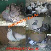 Ours Best Breeder Pigeon Breeds Available in Bulk Quantity Stock Avail
