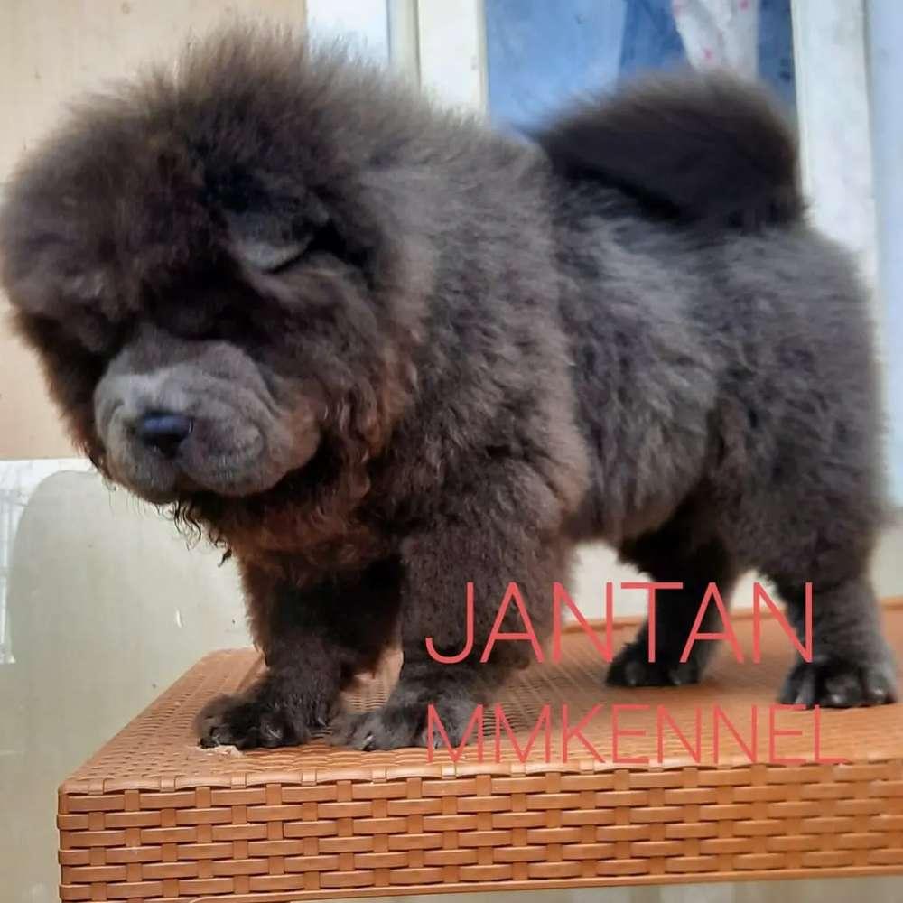 Chow Chow Jual Hewan Peliharaan Anjing Terlengkap Di Indonesia Olx Co Id