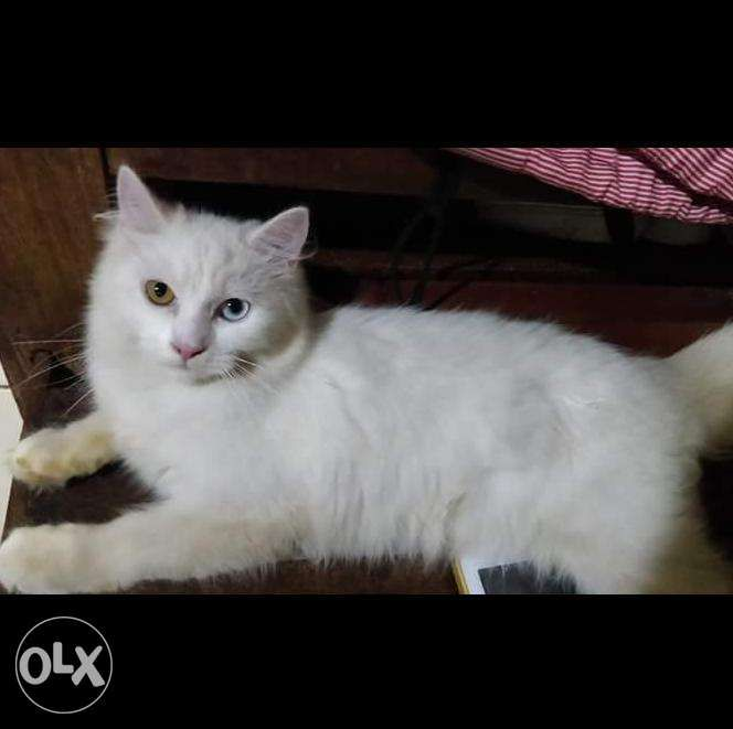 Persian Cat Male And Female Swap Sa Cp In Pasay Metro Manila Ncr