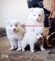 Russian Orignal pink nose blue eyes stunning fluffy long hair pups