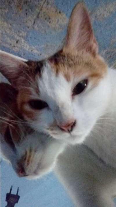 Kucing Belang Tiga Hewan Peliharaan 801822063