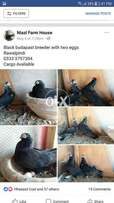 Black beauty with chicks