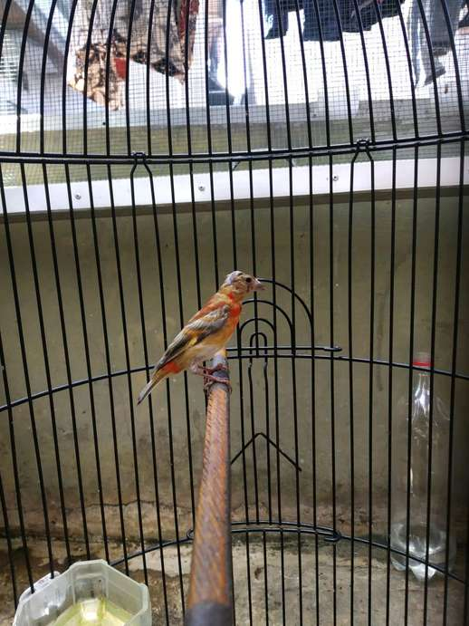 Red Siskin 3Pasang