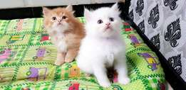 Yes Kittens Available Just Mention Your Name And