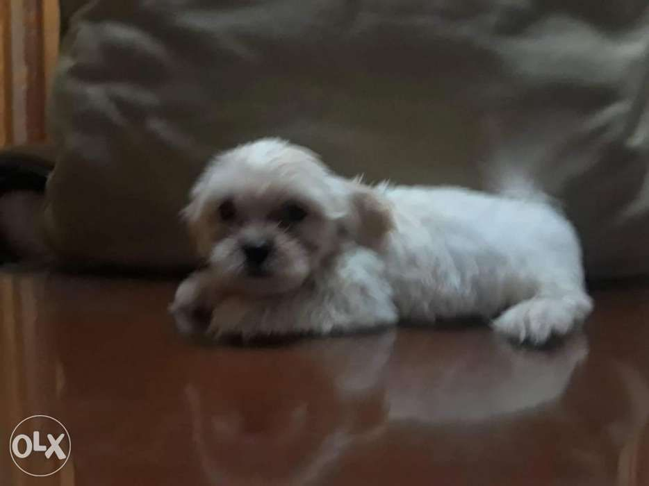 Shihtzu Dachshund Mix Puppies In Antipolo City Rizal Olx Ph