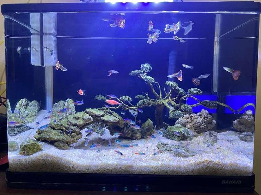 Aquarium Ikan Neon Ikan Guppy Hewan Peliharaan 772982005