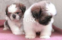 Show class adorable Shihtzu puppies available from champion parents