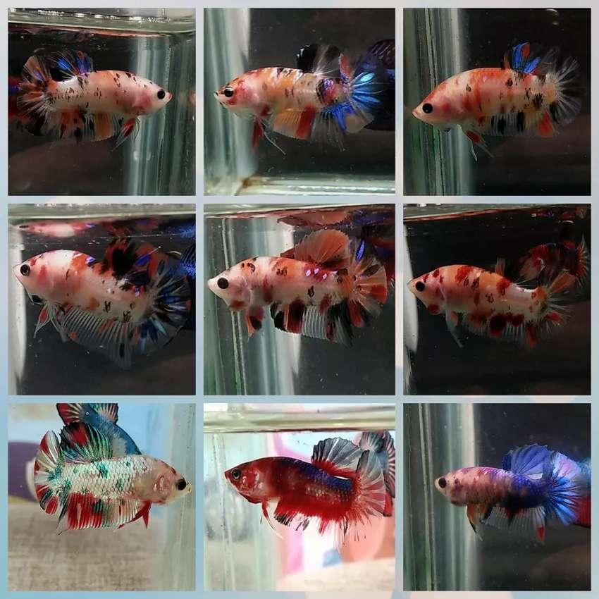 Ikan Cupang Nemo Candy Galaxy Hewan Peliharaan 808033218