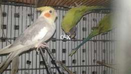 Cocktail parrot for sell