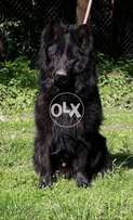 Osam Class Supreem Beauty Male Puppy 8 Months imported Extra Long Cort