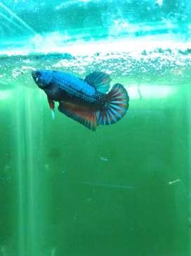 Ikan Jual Hewan Peliharaan Terlengkap Di Bukit Raya Olx Co Id