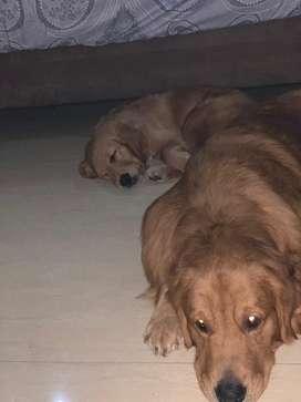 19++ Harga anjing golden di bali terbaru