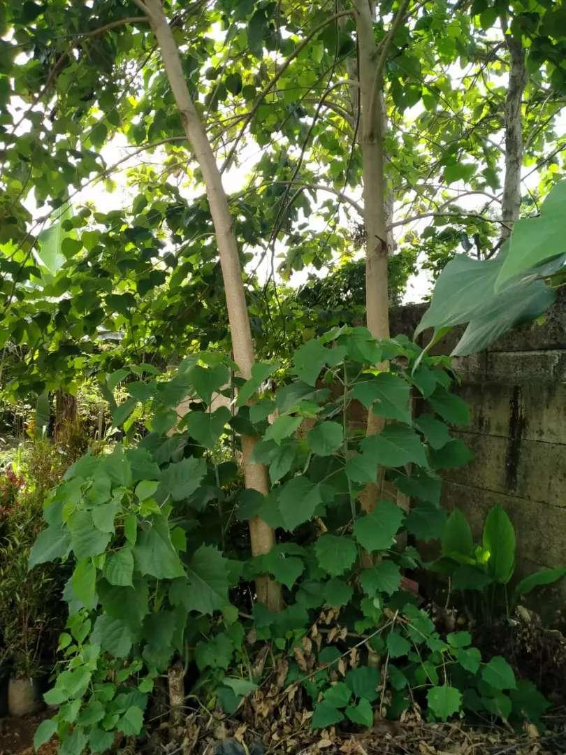 Jual Pohon Jati Jabon Atau Jati Belanda Konstruksi Dan Taman 807251192 Gambar pohon jati belanda