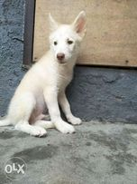 Husky Japanese View All Ads Available In The Philippines Olx Ph