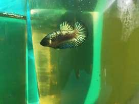 Ikan Cupang Jual Hewan Peliharaan Ikan Terlengkap Di Medan Kota Olx Co Id