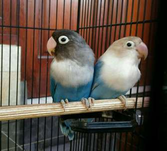 love bird biru mangsi & pasblue + kandang 1set