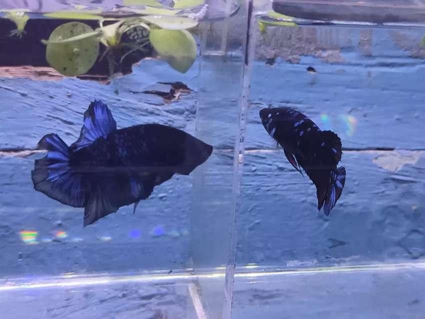 Ikan Cupang Avatar Sepasang Hewan Peliharaan 808571967