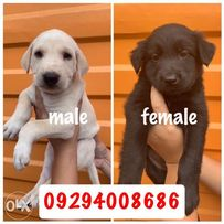 Labrador X View All Ads Available In The Philippines Olx Ph