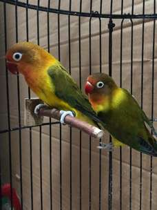 Burung Lovebird Indukan Double Green Euwing